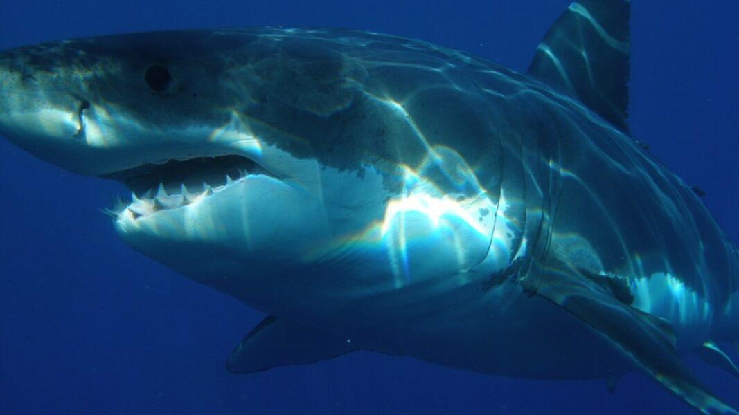 Tubarão pré-histórico ataca submarino: conheça o predador