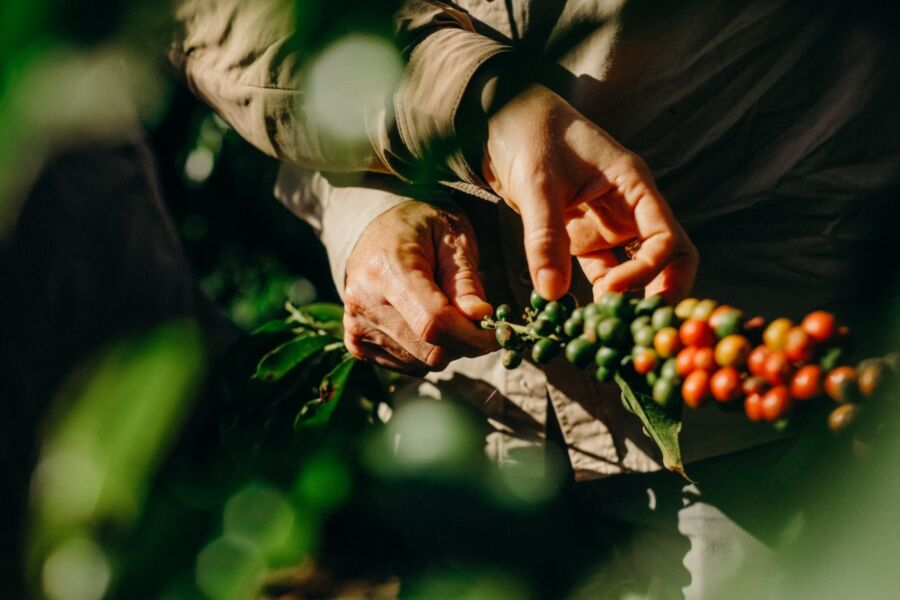 Dia Nacional do Café marca início da colheita no país e a importância da bebida para os brasileiros