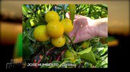 Rosas, abóboras, laranja kinkan e mais   COISAS DA ROÇA