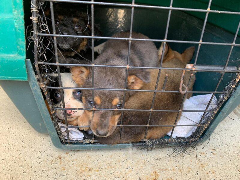 DPMA apreende oito filhotes e uma cachorra, em Curitiba