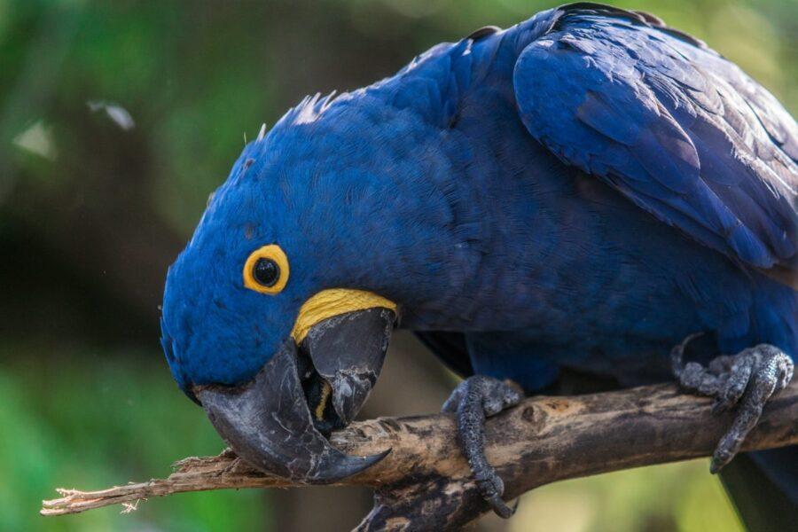 Arara-azul: ameaça de extinção, características e habitat