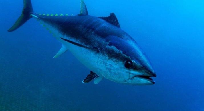 Já pensou? Homens pescam atum de quase R$ 14 milhões e o devolvem ao mar