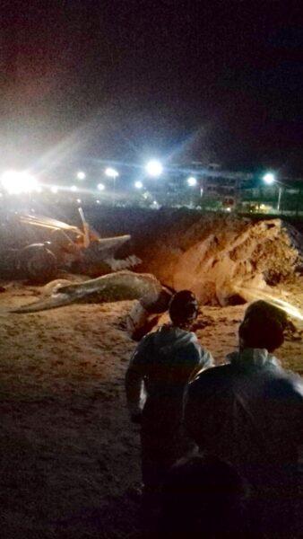 Baleia jubarte é encontrada morta em Matinhos, no litoral do Paraná