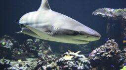 Sonhar com tubarão: entenda o que significa