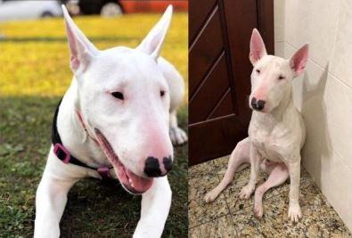 Valentina: cadela da raça Bull terrier está desaparecida da região do Campo Largo
