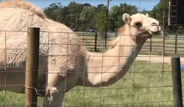 Camelo senta em mulher e vítima morde testículos do animal