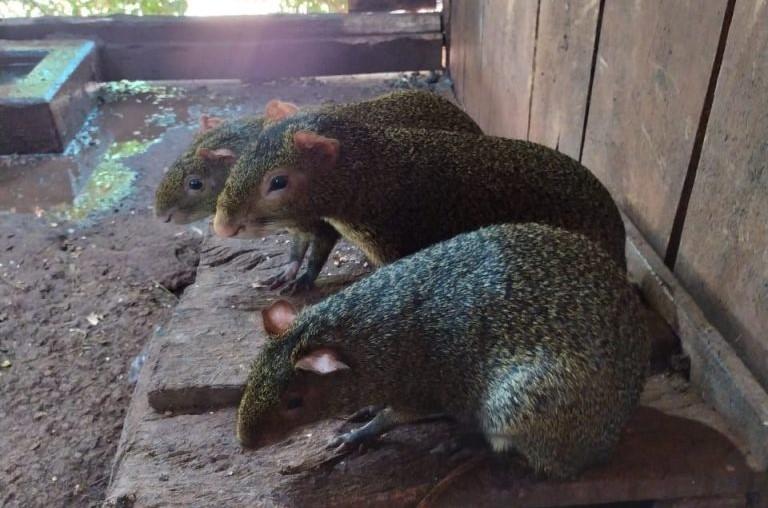 Sete Pacas e cinco Cutias são apreendidas em cativeiro, no oeste do Paraná