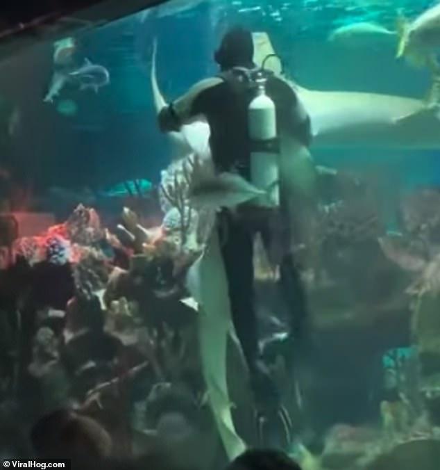 dança tubarão