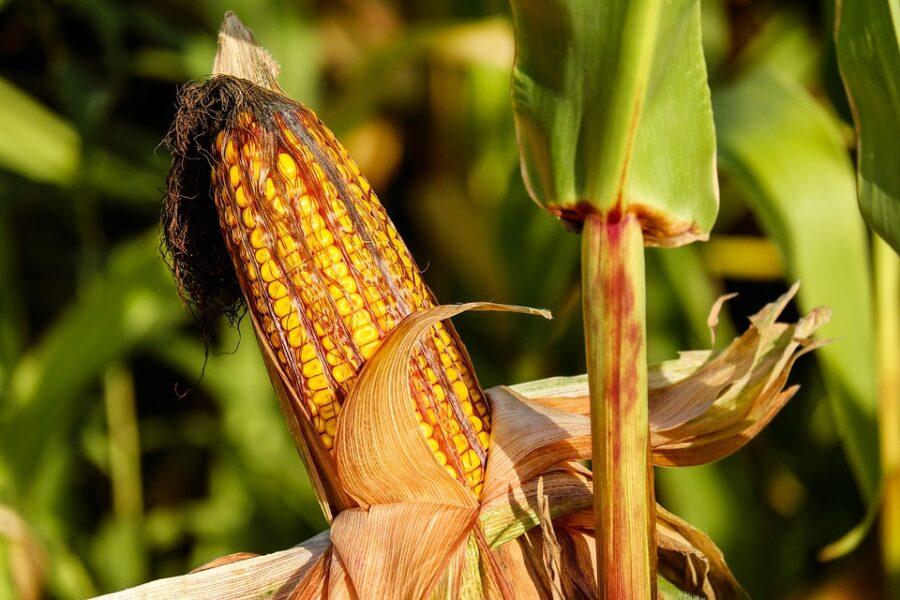 No Paraná, homem é baleado enquanto furtava espigas de milho de lavoura