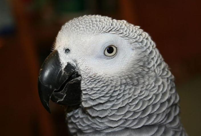 Papagaio some por quatro anos e reaparece falando em espanhol