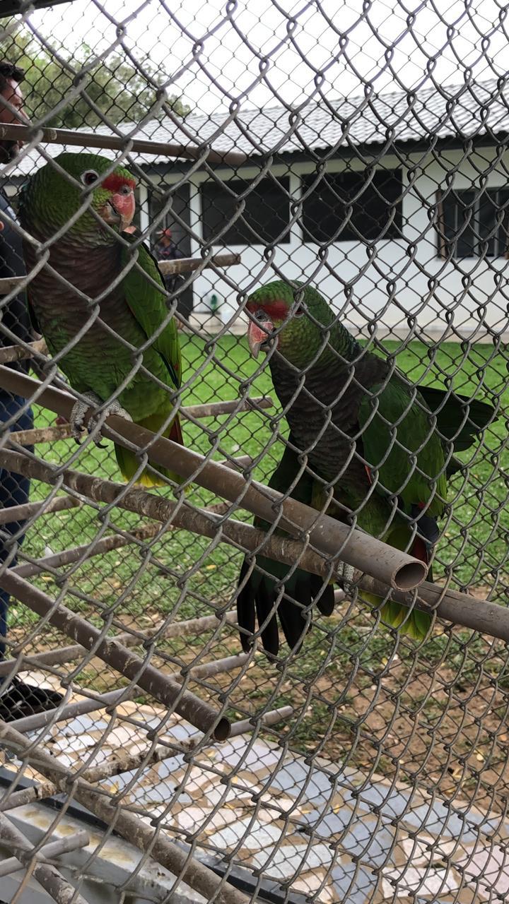 papagaios extinção