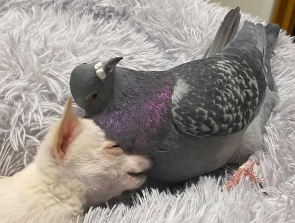 pombo e cão