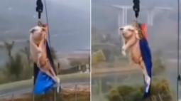 Vídeo é chocante! Porco é forçado a saltar de bungee jump em parque de diversão