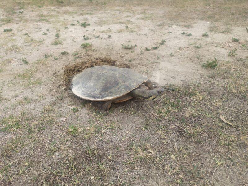 Veja o vídeo: tartaruga faz ninho e deixa ovos no Parque Barigui