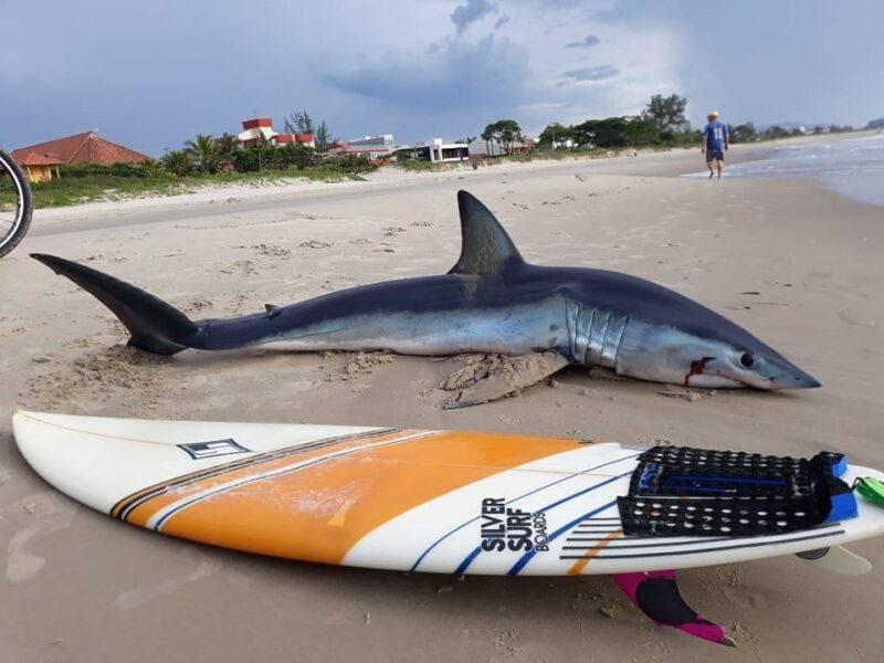 Tubarão-azul encalha e morre na praia de Guaratuba