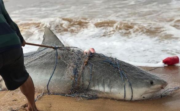 Tubarão-tigre com mais de 500 Kg é capturado no litoral brasileiro; veja vídeo!