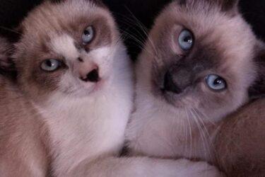Emma e Lorelei: gatas estão perdidas há 11 dias