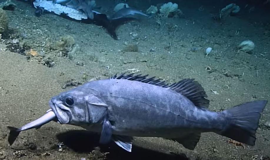 Vídeo: tubarão é devorado por peixe gigante no fundo do oceano; assista!