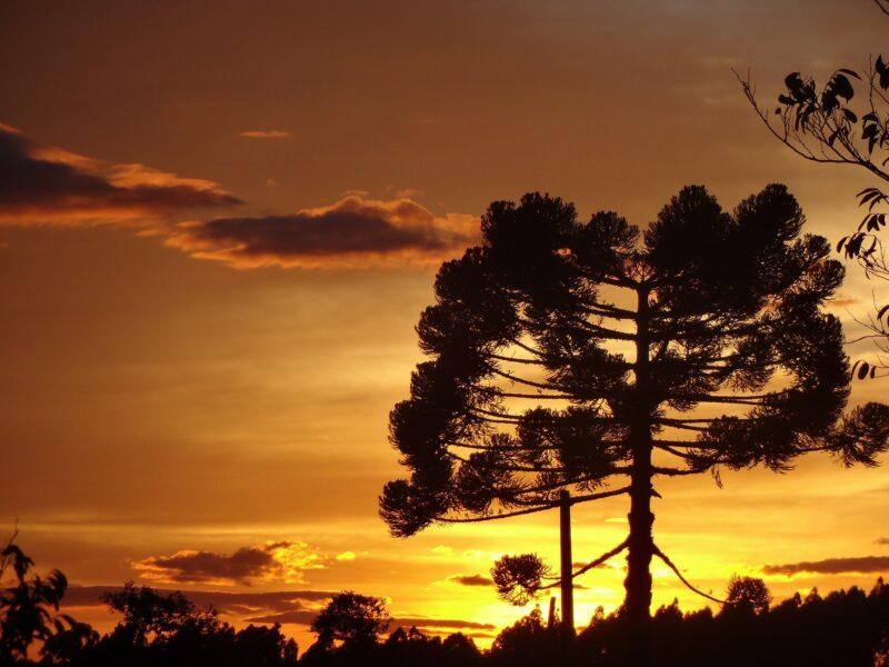 Araucária, árvore símbolo do Paraná, pode ser extinta