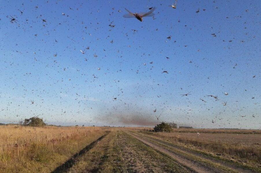 Nuvem de gafanhotos se aproxima do Brasil e pode chegar no Paraná