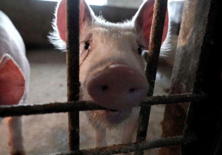 Novo vírus encontrado em porcos na China pode trazer surto de gripe