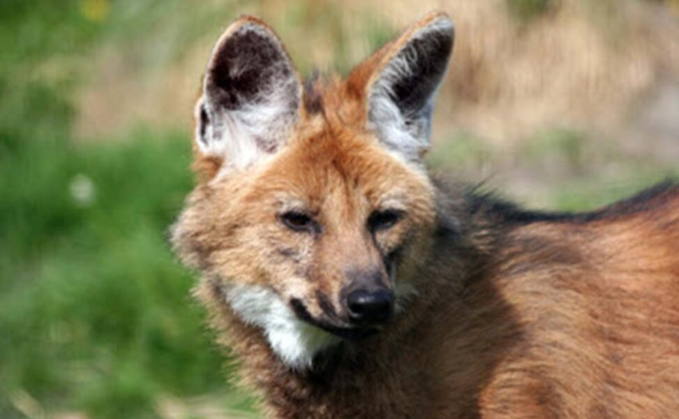Brasil vai ter nota de R$ 200 com lobo-guará