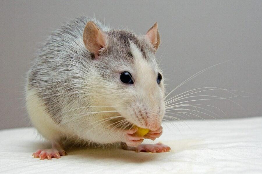 o-que-significa-sonhar-com-rato