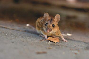 Entenda o que significa sonhar com rato