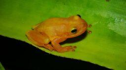 Perereca-das-bromélias: cientistas descobrem nova espécie na Bahia