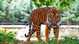 Tigre ataca e mata tratadora em zoológico, na frente de visitantes
