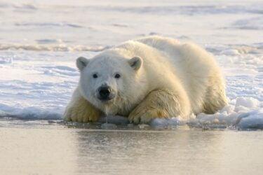 Urso-polar pode ser extinto até 2100, afirma estudo canadense