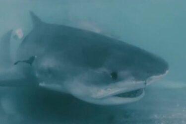 Vídeo: tubarão-tigre devora carcaça de tubarão-martelo; assista!