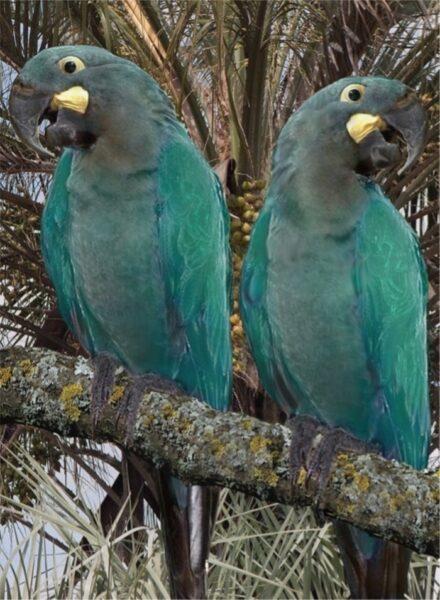 arara-azul-pequena