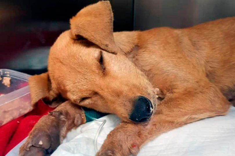 Chocante! Cachorro de seis meses morre após ser abusado sexualmente