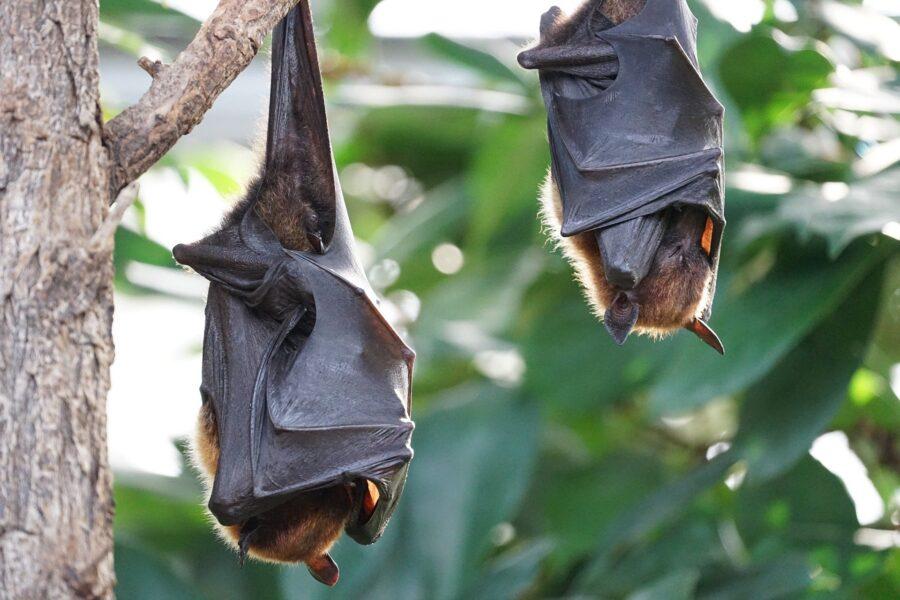 Descoberta: coronavírus em morcegos pode estar circulando há 70 anos