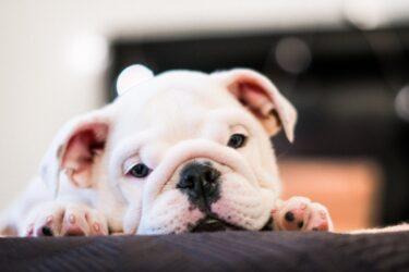 Mitos e verdades sobre a Leishmaniose Visceral Canina