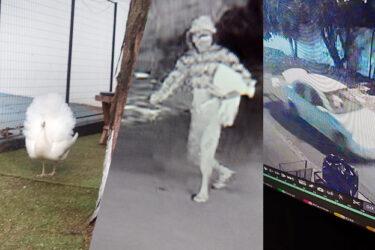 Imagens mostram pavão sendo furtado de escola em Londrina