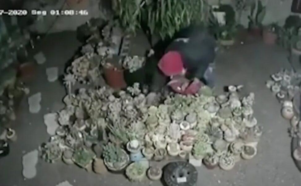 Maníaco das suculentas: ladrão faz a limpa em jardins de Curitiba