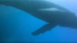 """Mulher vai parar no hospital após ser atingida por baleia jubarte durante mergulho: """"era imensa"""""""