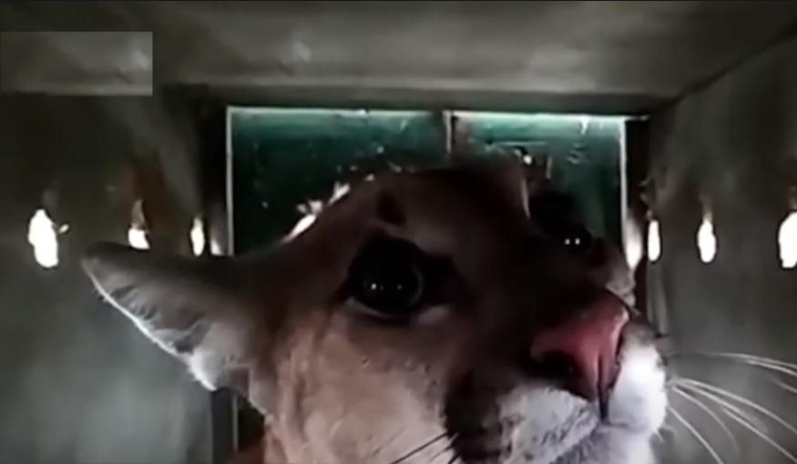 Onça-parda capturada em São José dos Pinhais é devolvida à natureza