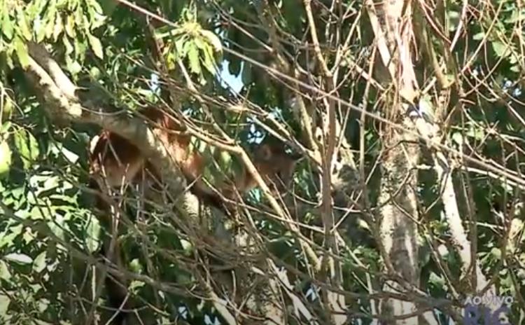 Onça-parda é encontrada em São José dos Pinhais, na Grande Curitiba