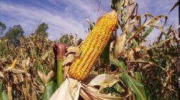 Consórcio capim-braquiária e milho gera bons resultados na lavoura