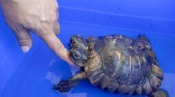 Raridade! Conheça a tartaruga de duas cabeças de 23 anos