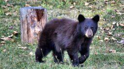 Assista agora o momento que uma família de ursos invade casa nos EUA