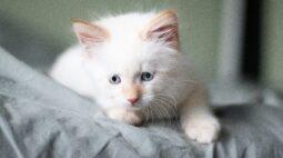 Gatos brancos de olhos azuis podem ser surdos