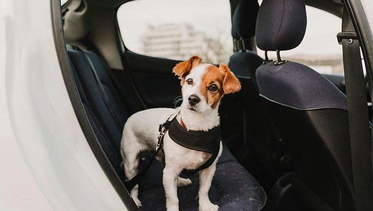 coleira cinto de segurança para cachorro