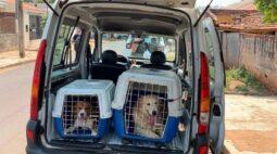 Dezenas de cães são resgatados de criadouro clandestino em Sarandi