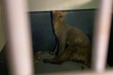 Gato-mourisco, espécie ameaçada de extinção, é resgatado em Mariluz