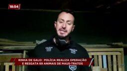 Rinha de galo: polícia realiza operação e resgata 69 animais de maus-tratos