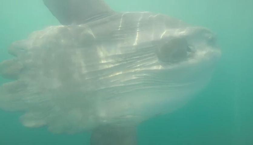 Raríssimo encontro com peixe-lua é filmado em Guaratuba; assista!